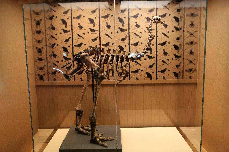 Скелет на Тежконогия Моа, гигантска нелетяща птица от Нова Зеландия, която изчезна скоро след пристигането на хората